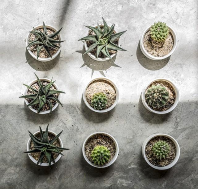 Manfaat Kaktus Dalam Ruangan Kumparan Com