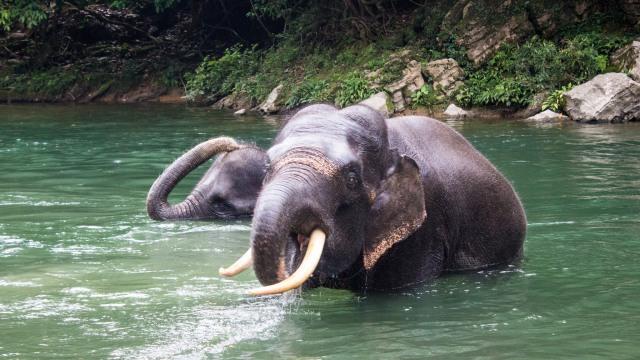 Memahami Perbedaan Gajah Modern dan Stegodon (62803)