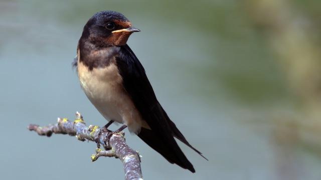 Burung Layang-layang Asia