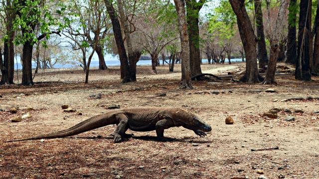 Komodo di Pulau Komodo, NTT