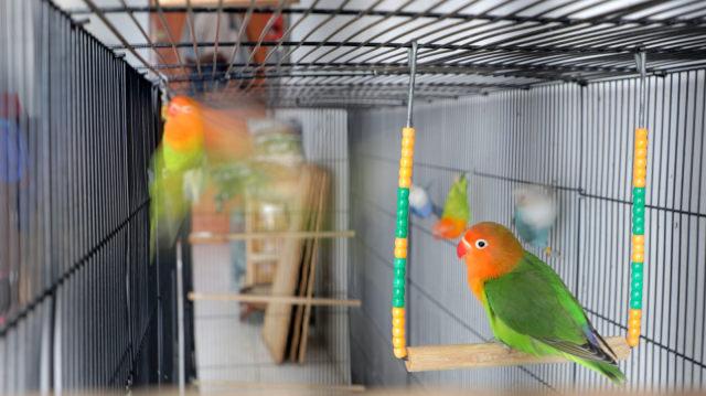 FOTO LIPSUS LOVEBIRD KUSUMO, Koleksi lovebird Breeder Apri