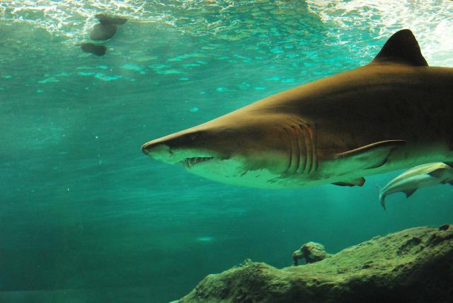 6700 Koleksi Gambar Ikan Hiu Dan Buaya Terbaru