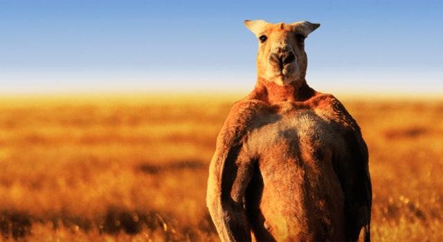 670+ Gambar Hewan Kangguru HD Terbaik