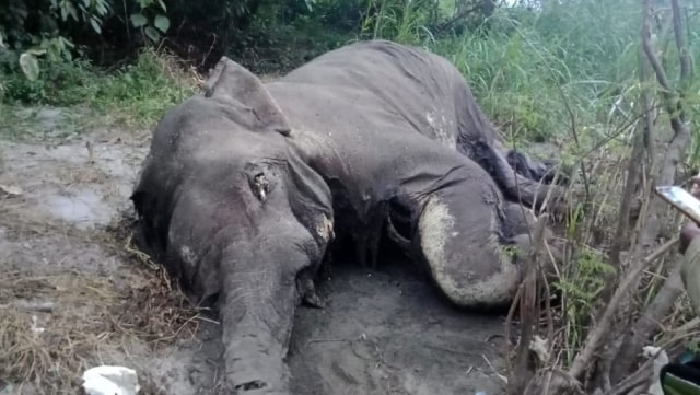 BKSDA Temukan Gajah Mati Tanpa Gading di Bener Meriah, Aceh (145902)