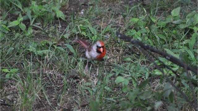Burung Kardinal Gynandromorph