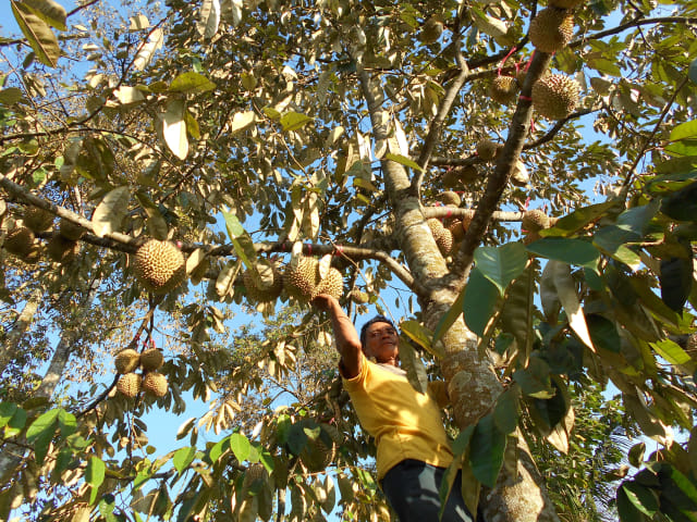 Gambar Kebun Durian Malang