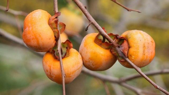 Perawatan dengan buah kesemek