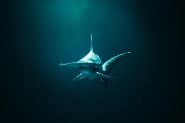 500 Koleksi Gambar Ikan Hiu Martil Gratis Terbaik