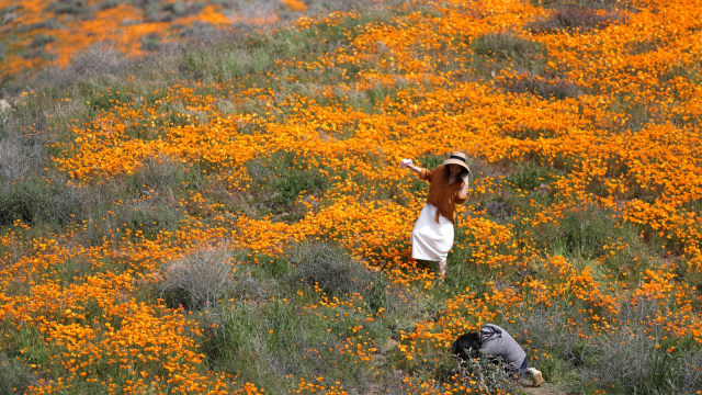 Bunga Poppy, California