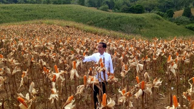 Jokowi, Acara panen raya jagung, Kabupaten Gorontalo Utara