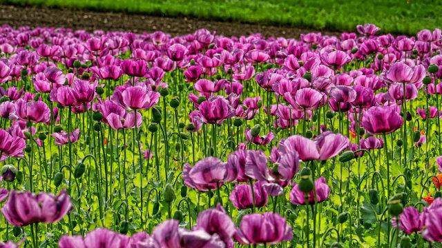 Opium, Konten Sejarah