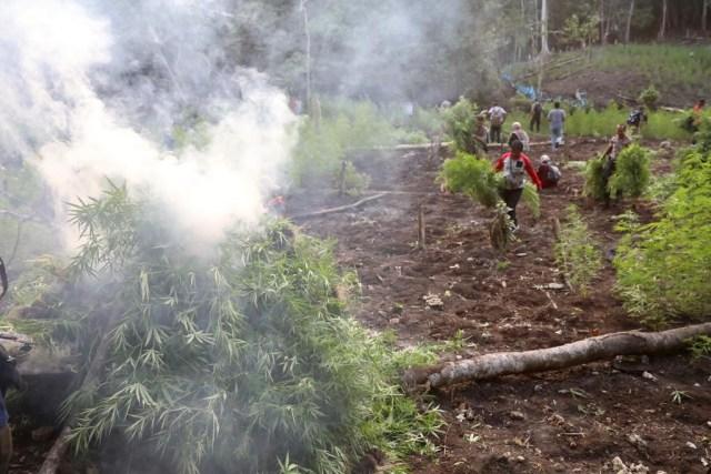 Polisi membakar tanaman ganja di Kecamatan Montasik, Aceh Besar.jpeg