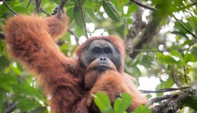 Orangutan Tapanuli Terancam Punah dengan Pembangunan PLTA Batangtoru (492103)