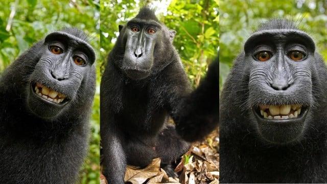Bertemu Naruto, Monyet Selfie Asal Sulawesi Utara yang Gemparkan Dunia (40549)