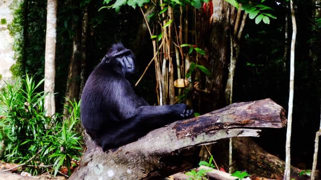 Bertemu Naruto, Monyet Selfie Asal Sulawesi Utara yang Gemparkan Dunia (40551)
