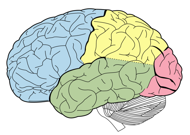 1200px-Lobes_of_the_brain_NL.svg.png