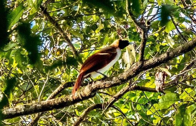 Bird Watching Tambrauw