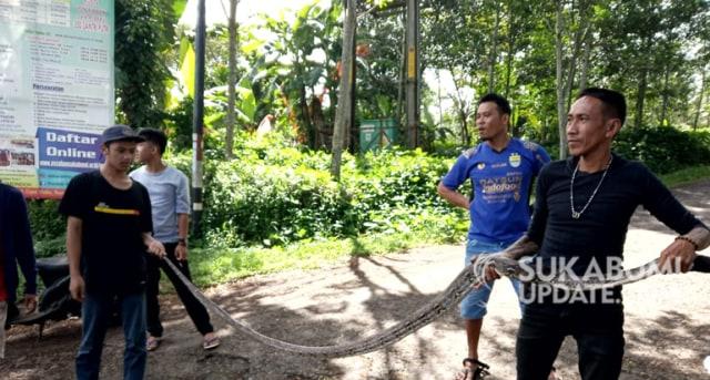 Asik Makan Ayam, Ular Sanca Bodo Ditangkap Warga Warungkiara Sukabumi (245486)