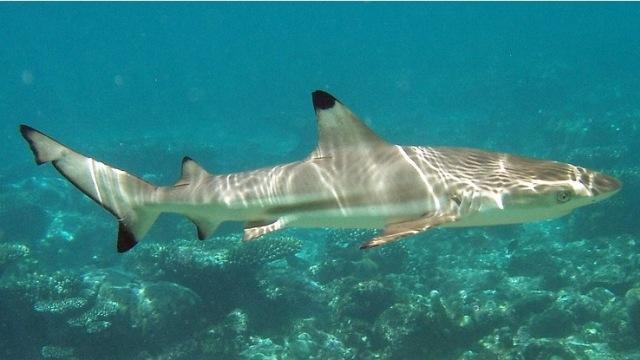 Kata Peneliti LIPI soal Ikan Hiu yang Muncul Usai Banjir ...