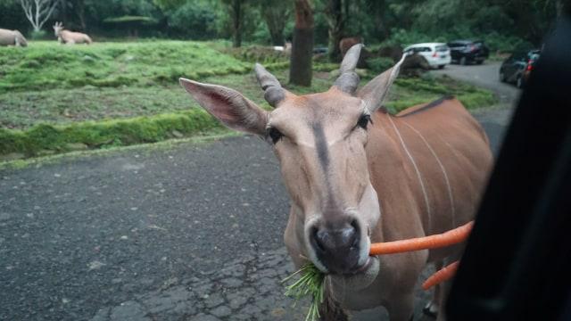 com-Liburan Bareng Movic, memberi makan hewan di Safari Ride