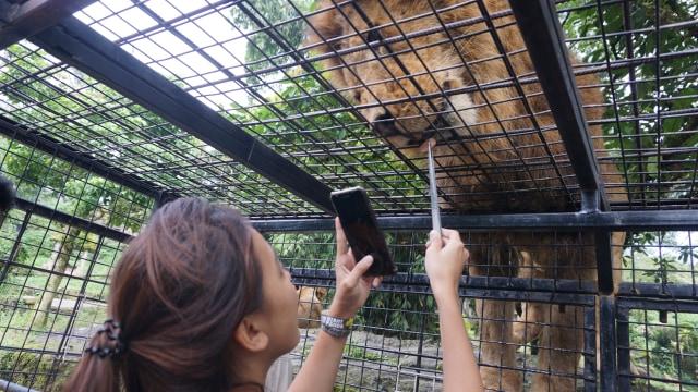 com-Nadia Soekarno memberi makan singa secara langsung