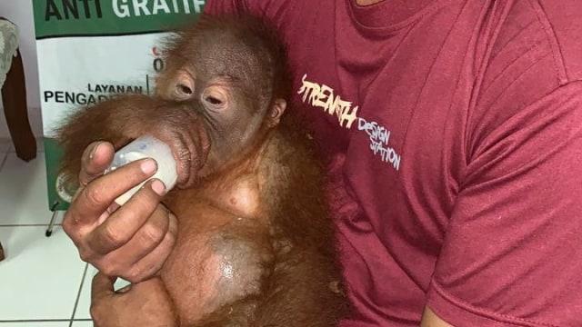 Bayi orang utan (NOT COVER)