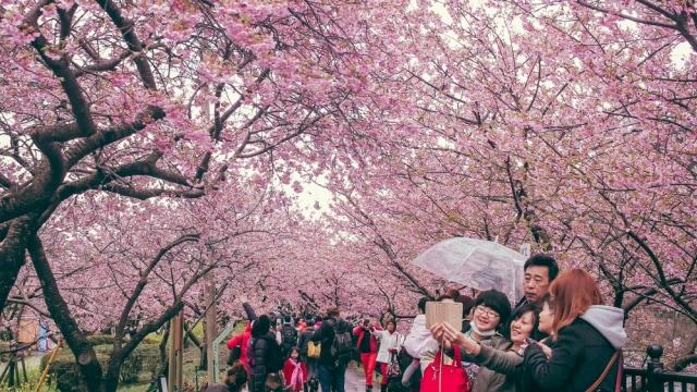 Wisatawan berfoto bersama di tengah mekarnya bunga sakura di Shizuoka, Jepang