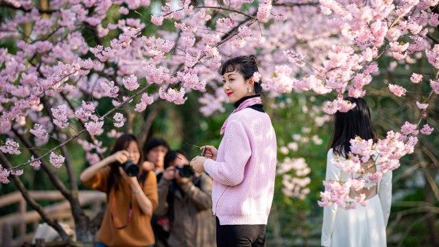 Foto: Melihat Mekarnya Bunga Sakura di Tengah Wabah Virus Corona (1230247)