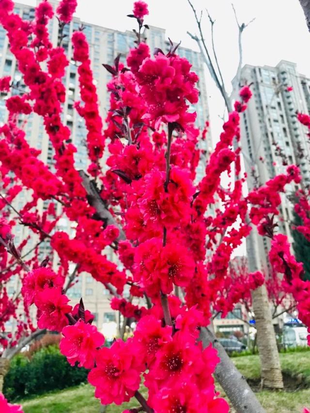 Acehkini Jalan-jalan: Ying Hua, Mewarnai China di Musim Semi  (721)