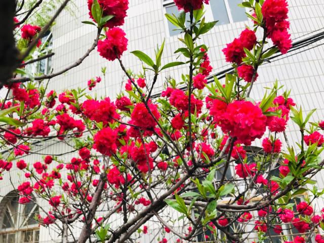 Acehkini Jalan-jalan: Ying Hua, Mewarnai China di Musim Semi  (722)