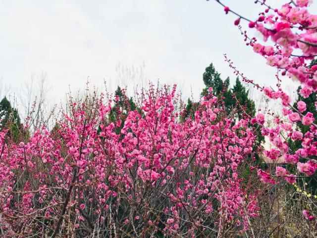 Acehkini Jalan-jalan: Ying Hua, Mewarnai China di Musim Semi  (725)