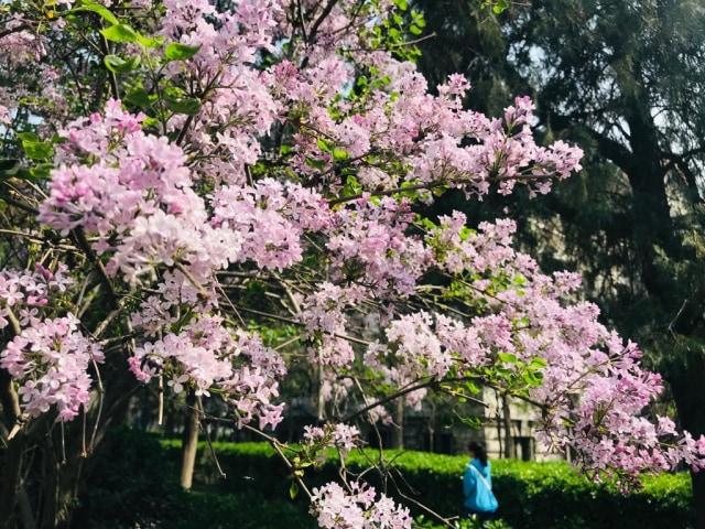 Acehkini Jalan-jalan: Ying Hua, Mewarnai China di Musim Semi  (730)