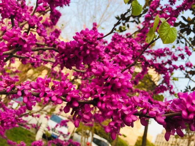 Acehkini Jalan-jalan: Ying Hua, Mewarnai China di Musim Semi  (732)