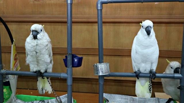 Bea Cukai Gagalkan Penyelundupan 28 Burung Langka dari Pulau Buru (803441)