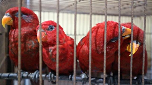 Bea Cukai Gagalkan Penyelundupan 28 Burung Langka dari Pulau Buru (803440)