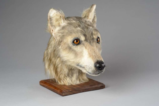 Penampakan kepala anjing 4 ribu tahun lalu