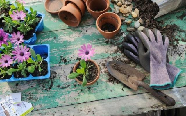 tanaman hias berupa bunga ungu dalam pot tanah liat di samping sekop dan sarung tangan
