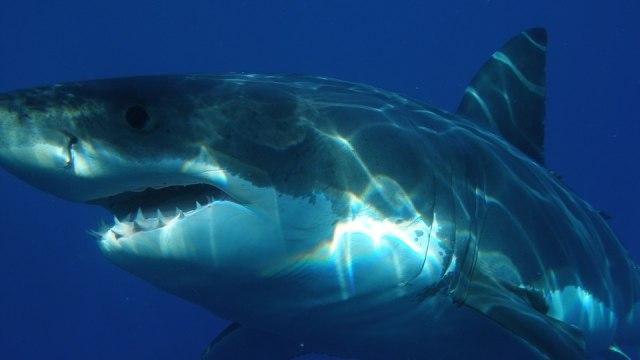 Inilah Makhluk Laut yang Bikin Hiu Putih Besar Takut dan Kabur (55894)