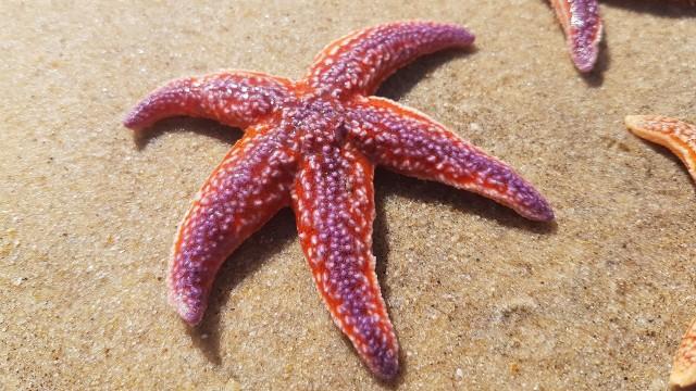 57 Gambar Hewan Bintang Laut Terbaik