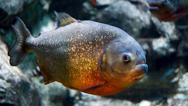 Unduh 77+ Gambar Ikan Piranha Terbaru