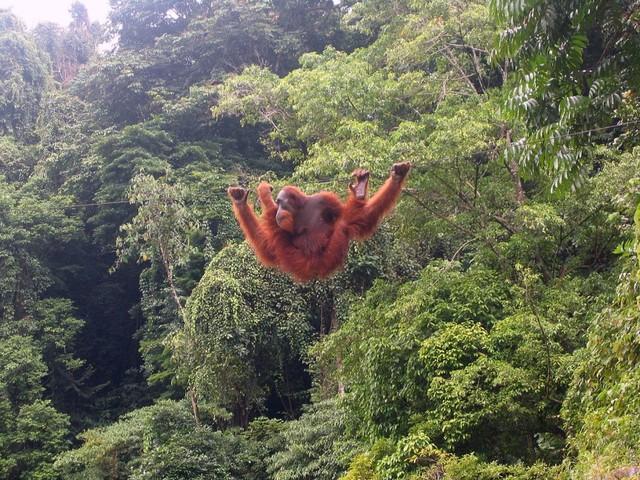 Mengenal 3 Spesies Orangutan di Indonesia (1)