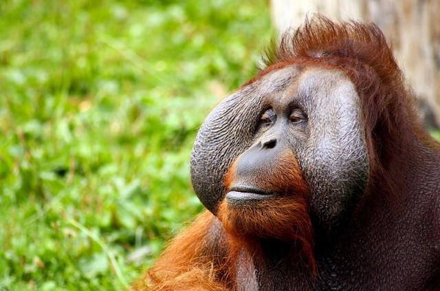 Mengenal 3 Spesies Orangutan di Indonesia (2)