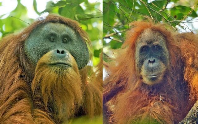 Mengenal 3 Spesies Orangutan di Indonesia (3)