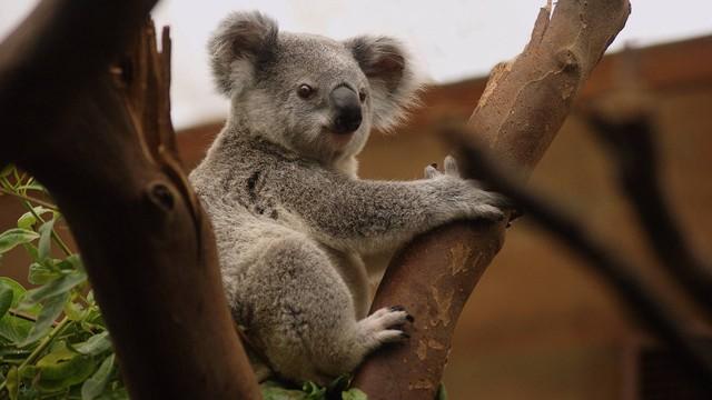 Lucunya Koala Ini Nyasar ke Rumah dan Hinggap di Pohon Natal Keluarga (12143)