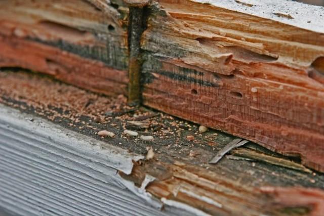 rayap kayu di atas kayu rapuh