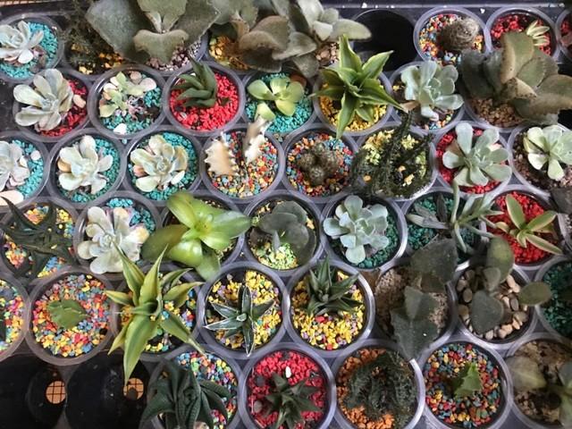 Kaktus Tanaman Hias Yang Pas Untuk Dekorasi Di Hari Lebaran