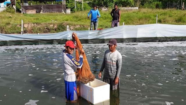 Udang Vaname DKP Tidore Diminati Perusahaan Tambang (27770)