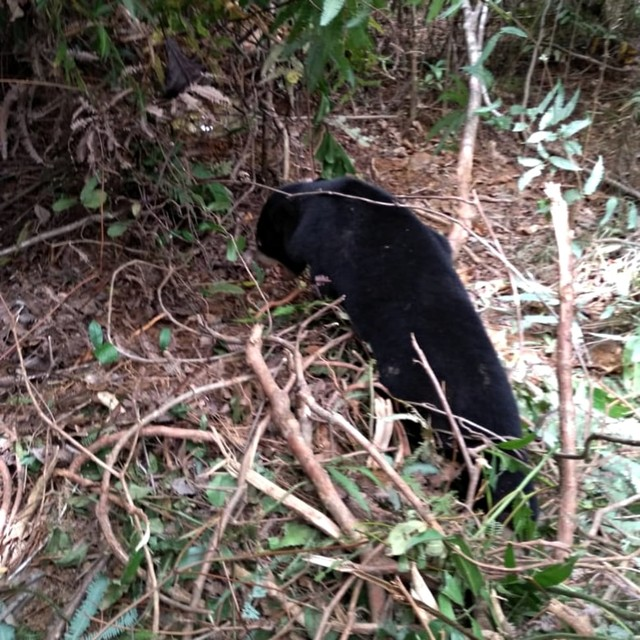 Dua Beruang Madu di Aceh Terkena Jerat Babi (NOT COVER)