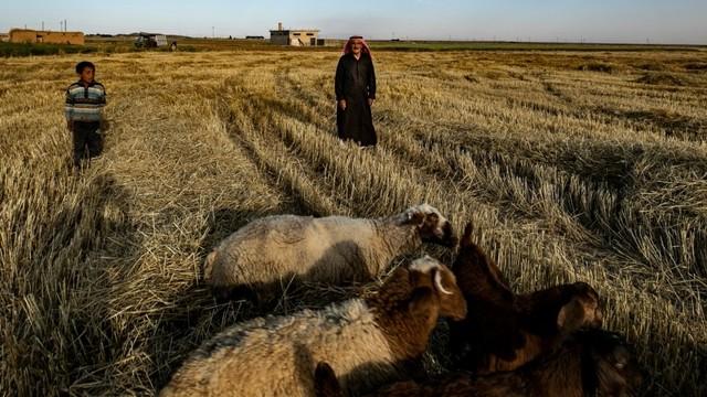 Gandum di Kurdi