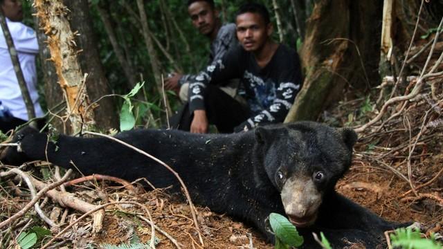 Beruang madu, jerat babi di perkebunan sawit Desa Lubuk, Kecamatan Jeumpa, Aceh Barat Daya, Aceh.